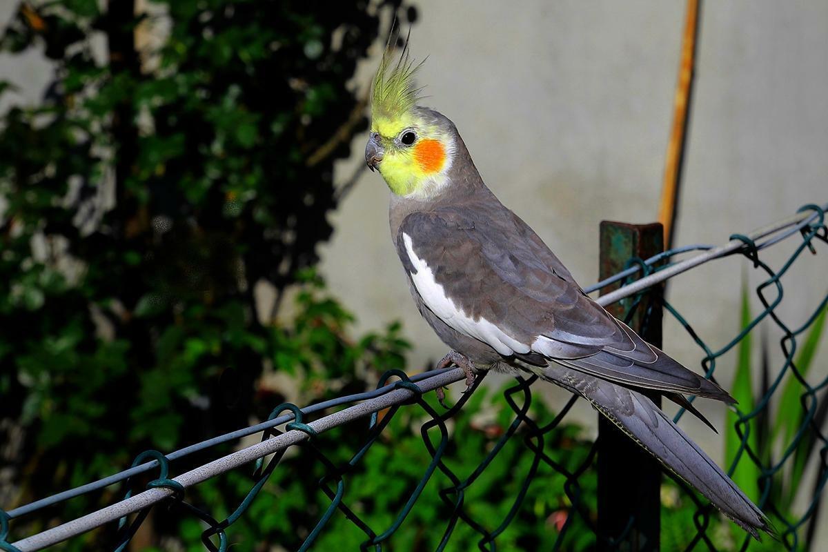 Papagali nimfa