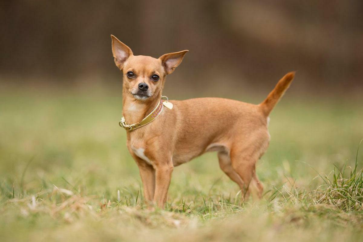 Catel - rasa Chihuahua