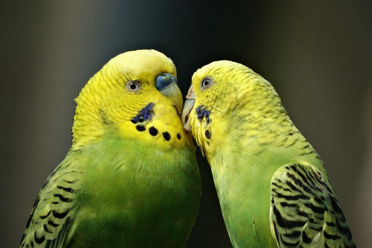 Papagal Perus