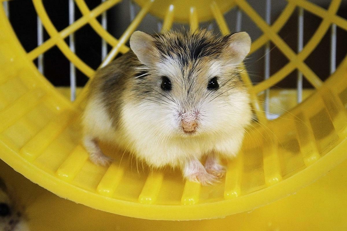 Hamster - rasa Roborovski