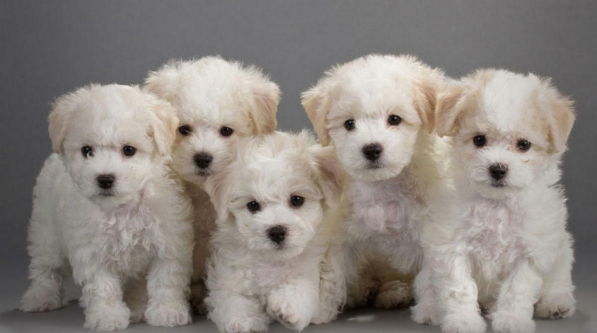 Imagine impresie Bichon Maltez - catel